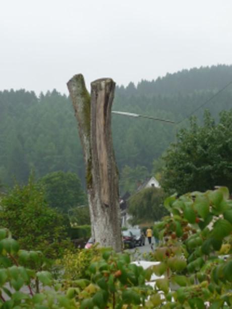 Kappungen sind die schädlichste Form des Baumschnitts. Foto: Stadt