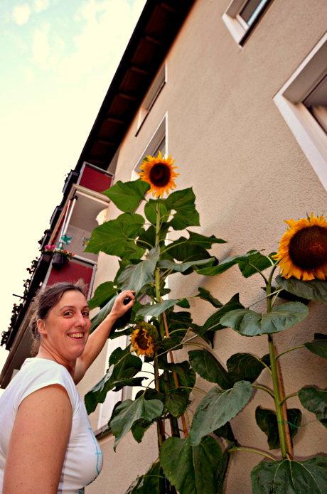 2014-08-08_Weidenau_Sonnenblume_Schade_01