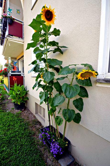 2014-08-08_Weidenau_Sonnenblume_Schade_04