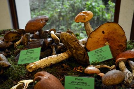 2014-08-23_Geisweid_Pilzausstellung_Schade_01