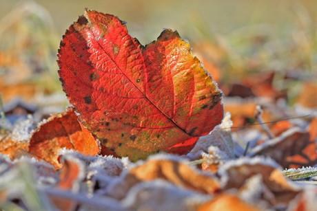 2014-11-23_Herbstliche_Impressionen_Apfelbaumblatt im erstenFrost_Foto_Helmut Weller