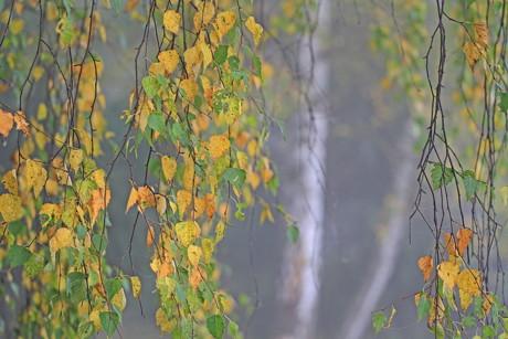 2014-11-23_Herbstliche_Impressionen_Birkenvorhang_traurugeBirken_Foto_Helmut Weller