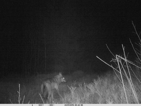 Diesen Wolf hielt ein Jäger mit einer Wildkamera im Bild fest.
