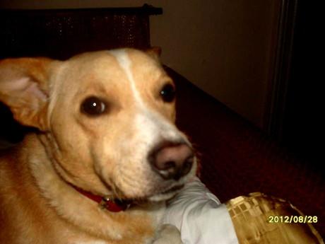 """""""Rocky"""" ist etwa kniehoch, hat ein goldenfarbiges Fell mit weißer Krawatte an Hals und Nase und trug am Tag des Verschwindens ein rotes Halsband."""