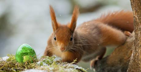 Da wurde jede Pfote gebraucht: Auch das Eichhörnchen half beim Verteilen der bunten Eier – auf 400-Euro-Basis. (Foto: Siegbert Werner)