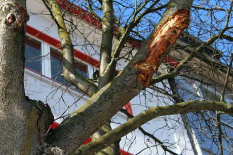 2015_-04-09_Siegen_Beschädigte Mehlbeere Oberstadt_Foto_Stadt_Siegen_01