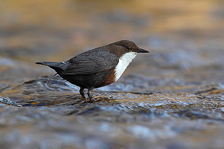 Die Wasseramsel ist eine der vielen Vogelarten, die sich in der Helleraue heimisch fühlt. Foto: Friedhelm Adam