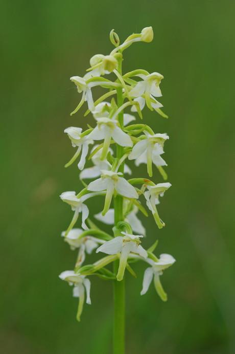 Einer der Wanderhöhepunkte ist die Blüte der Orchideen – hier eine Waldhyazinthe. (Foto: M. Frede)