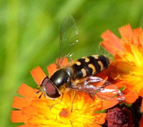 2015-06-18_Schwebfliegen und Bienen_Leserfoto_Gerlinde Beyer_04