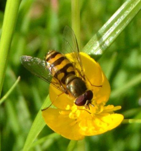 2015-06-18_Schwebfliegen und Bienen_Leserfoto_Gerlinde Beyer_05