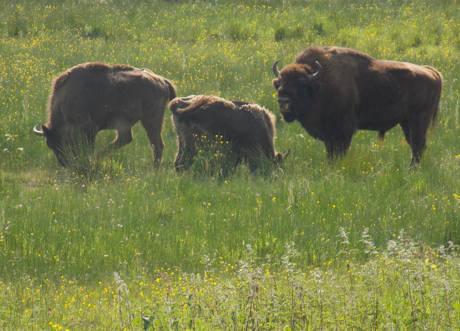 Die Wisentherde hatte anscheinend gemeint, dass die aus dem fast 60 km entfernten Burbach angereiste Wandergruppe schöne Fotos verdient hätte und so grasten die Tiere in unmittelbarer Nähe des Rundweges.