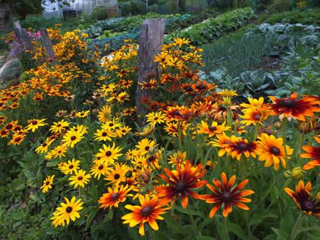 Gemüse- und Zierpflanzen, wie hier der prächtig blühende Sonnenhut, können bei der Pflanzentauschbörse bei der Biologischen Station am Haus der Land- und Forstwirtschaft in Kreuztal-Ferndorf getauscht werden (Foto: U. Siebel)