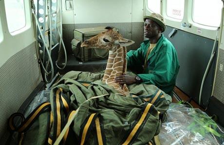 Business-Class: Wildhüter des David Sheldrick Wildlife Trust brachten das verwaiste Giraffen-Baby an Bord einer Cessna Caravan in Sicherheit.