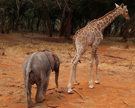 Ungleiches Paar: es war Liebe auf den ersten Blick. Der Baby-Elefant und die Baby-Giraffe sind unzertrennlich. Wohin der eine geht, folgt der andere.