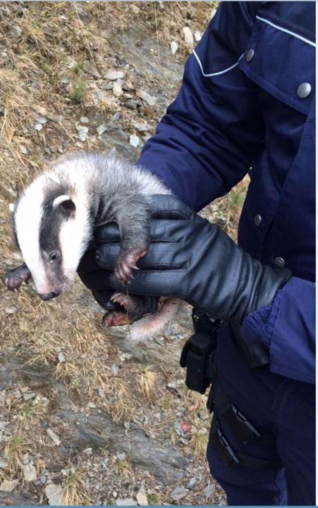 Das Dachs-Baby wurde anschließend von einer Tierärztin versorgt.