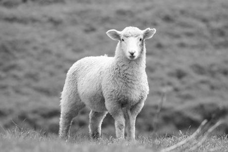 Schaf zeigt Zunge